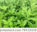 비오는 날 초록 잎 76419326