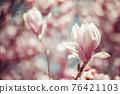 pink flowering magnolia trees in spring 76421103