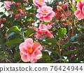 Camellia 76424944