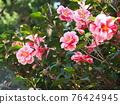 Camellia 76424945