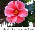 Camellia 76424947