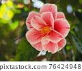 Camellia 76424948