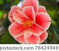 Camellia 76424949