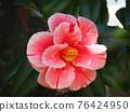 Camellia 76424950