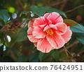 Camellia 76424951