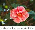 Camellia 76424952