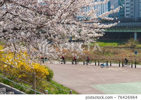 하천변의 봄 벚꽃 풍경 76426964