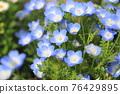 可愛的Nemophila 76429895