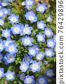 可愛的Nemophila 76429896