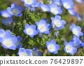 可愛的Nemophila 76429897