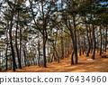 Maryang-ri Camellia Forest in Seocheon, Korea 76434960