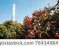 Maryang-ri Camellia Forest in Seocheon, Korea 76434964