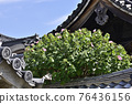 cotton rose, flowers, old imperial palace 76436156