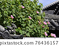 cotton rose, flowers, old imperial palace 76436157