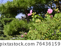 cotton rose, flowers, old imperial palace 76436159