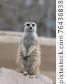 meerkat 76436838