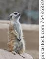 meerkat 76436839