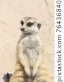 meerkat 76436840