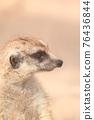 meerkat 76436844