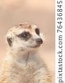 meerkat 76436845