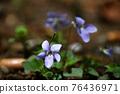 紫羅蘭 76436971