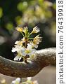 樹:薔薇科 76439918