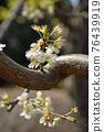 樹:薔薇科 76439919