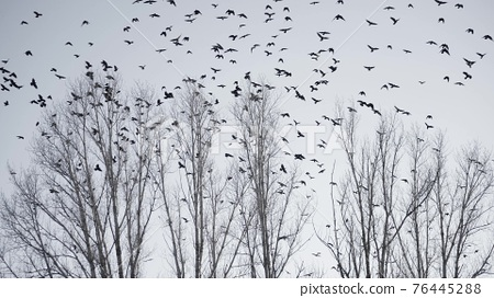 flock of birds flying in the sky crows. chaos surprise of death concept. group of birds flying in the sky. black crows in a fright group circling against fly the sky. migration movement of birds 76445288