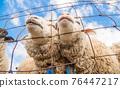 sheep, animal, animals 76447217
