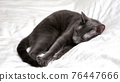 Beautiful gray cat is resting lying on a white blanket 76447666