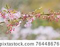 談山 신사의 벚꽃 76448676