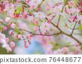 談山 신사의 벚꽃 76448677