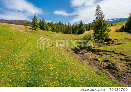 spruce trees on the grassy pasture. snow capped ridge in the distance. beautiful countryside rural landscape on a sunny day 76452700