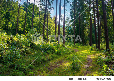 mixed forest on the sunny summer day. grassy ground in dappled light. freshness of the carpathian woods 76452706
