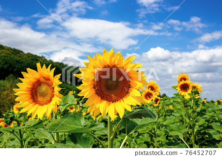 sunflower closeup in the field. beautiful agricultural scenery in summertime. clouds above the horizon. wonderful scenery with blooming yellow flowers 76452707