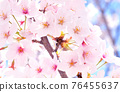 왕 벚나무 76455637