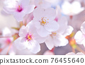 왕 벚나무 76455640