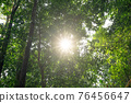 Low angle shot of big trees in the rainforest Morning sun light Forest Trees. Shining Sun light Travel Vacation Nature Concept. look Up low angle View in tropical forest nature Background 76456647