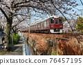 cherry blossom, cherry tree, sakura 76457195