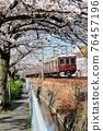 cherry blossom, cherry tree, sakura 76457196