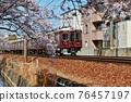 cherry blossom, cherry tree, sakura 76457197