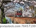 cherry blossom, cherry tree, sakura 76457199