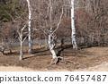 白樺 倒掉的樹 護照 76457487