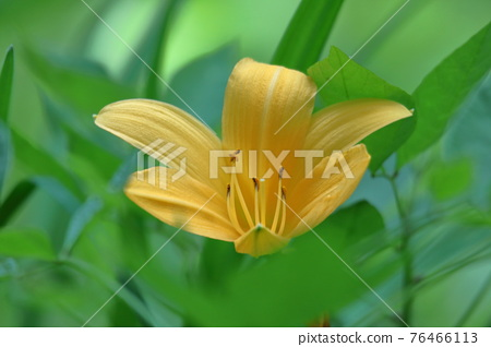 Day Lily, hemerocallidaceae, flower 76466113