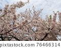 벚꽃과 기시와다 성 76466314