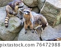 racoon, animal, animals 76472988