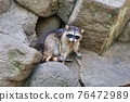 racoon, animal, animals 76472989