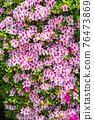 봄에 피는 벚꽃과 철쭉이 한 번에 피는 드문 봄 풍경 76473869