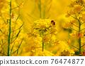 유채 꽃과 꿀벌 76474877