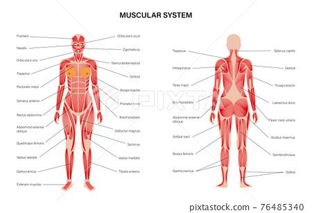 Human muscular system 76485340